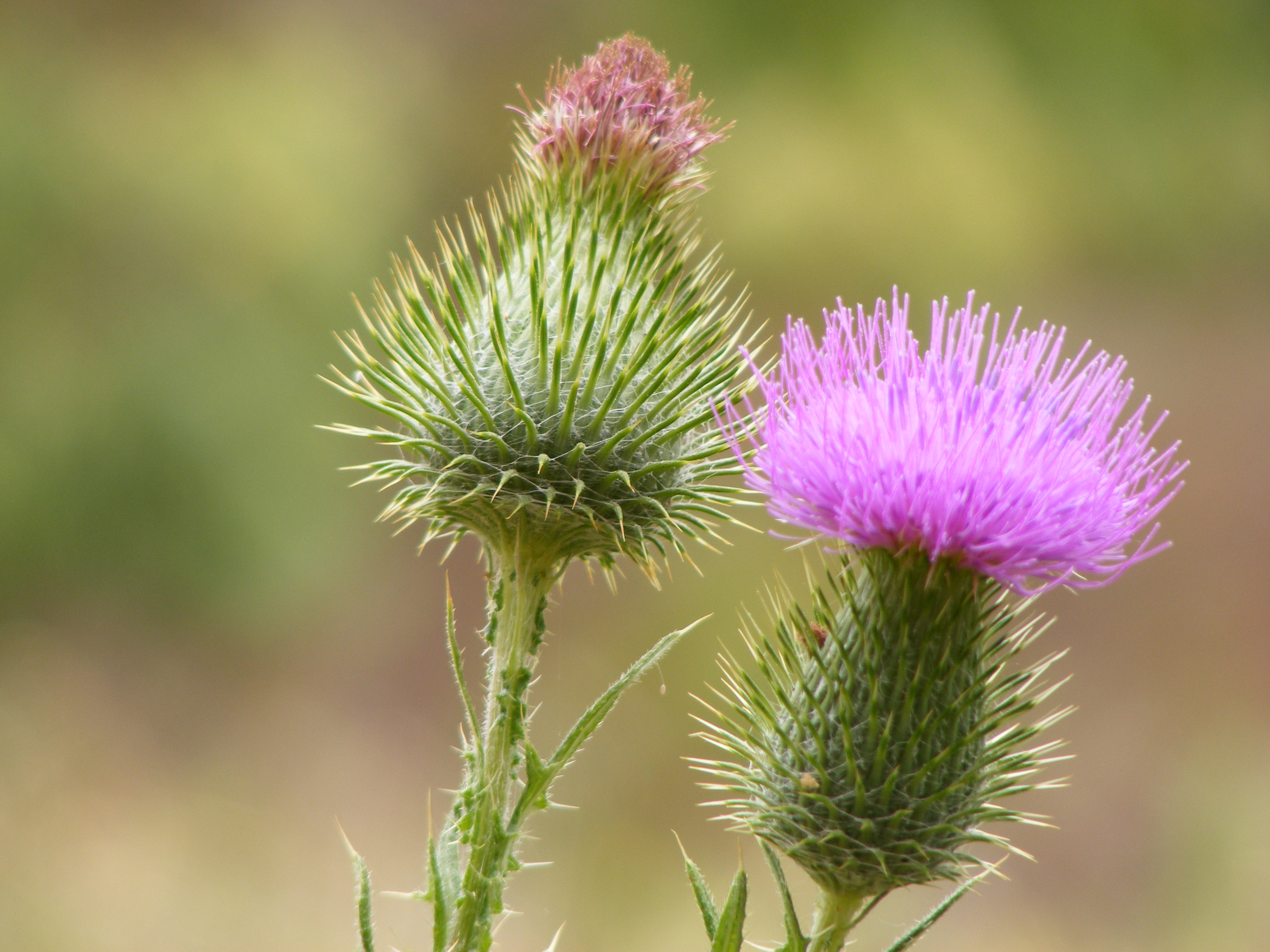 Cirsium_vulgare_flowers_Anstey_Hill by Peripitus on Wikimedia CC unported 3.0