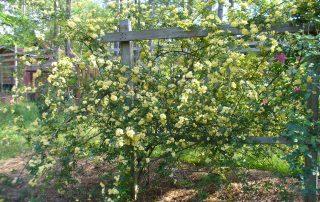 Yellow Roses; Earthsprings Retreat Center; OneAndAllWisdom.com CC2.0