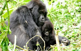 1200px-Mountain_gorillas_(8209001529), via Wikipedia