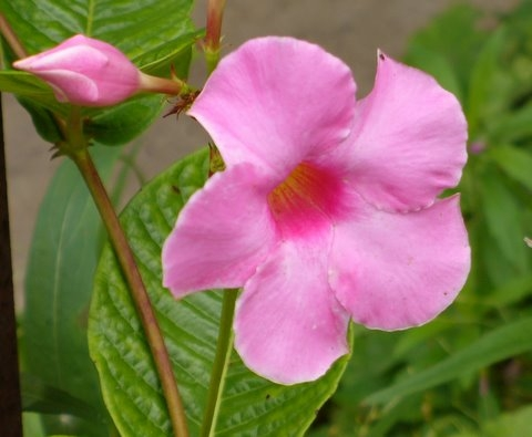 Image Mandevilla Flower, photo by Glenda Taylor CC2.0