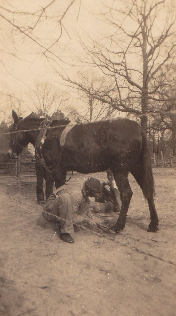 Herbert Williams shoeing a mule