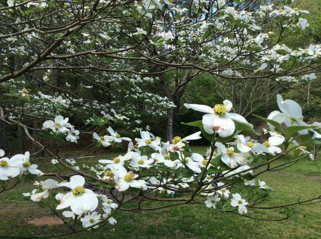 Dogwoods in East Texas, photo by Glenda Taylor, CC.2