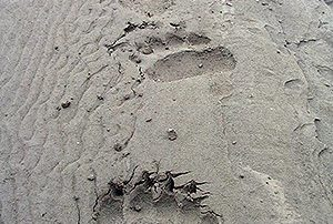 Bear Tracks, National Park Service, Public Domain
