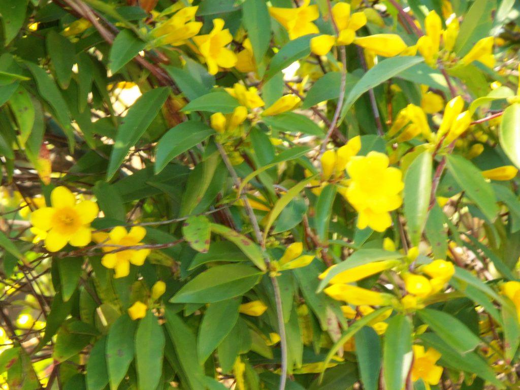Yellow Jasmine, Photo by Glenda Taylor, Earthsprings Retreat Center CC 2.0