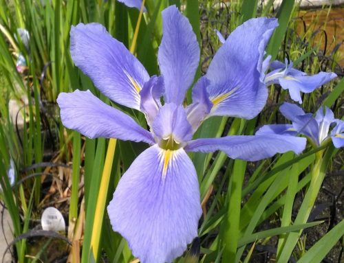 Wild Iris and Other Blooming Memories
